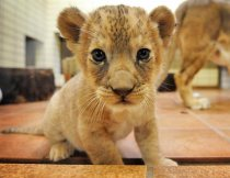 nm_germany_baby_lion