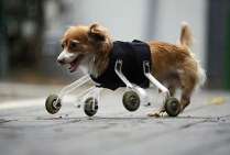cute-crippled-dog-no-legs