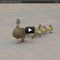 [TRICK QUESTION] Ducks Meet Wind /// What is the Significance of This Video in Light of the Recent Election?