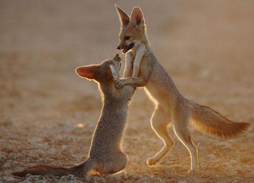 cape-fox-2