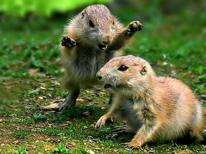 cute-rodents-play-fighting